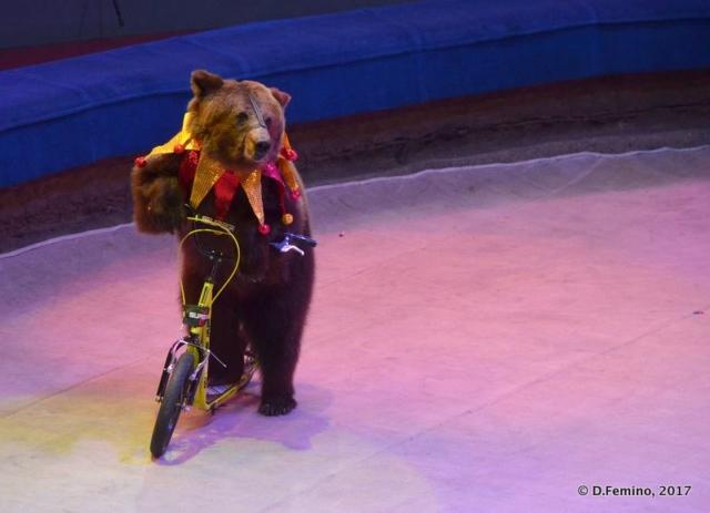 Bear on the bike (Tyumen, Russia, 2017)