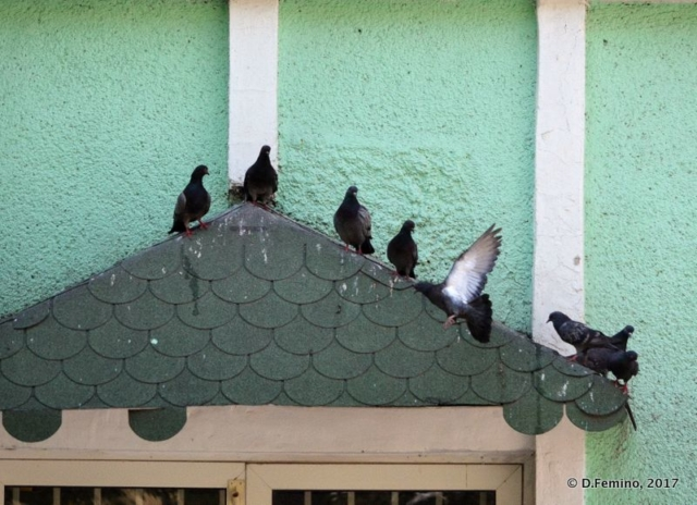 Pigeons on a green background (Novosibirsk, Russia, 2017)
