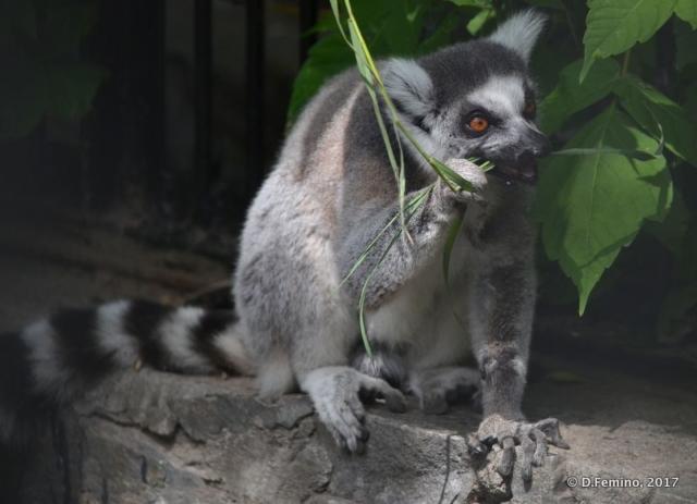 Ring-tailed lemur (Novosibirsk Zoo, Russia, 2017)