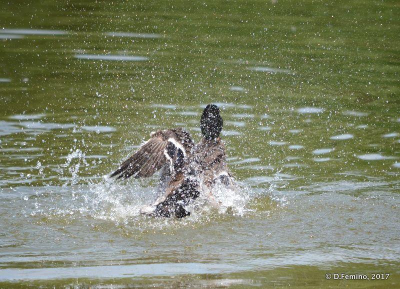 Duck having fun (Novosibirsk Zoo, Russia, 2017)