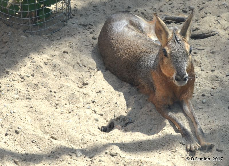 Patagonian hare (Novosibirsk Zoo, Russia, 2017)