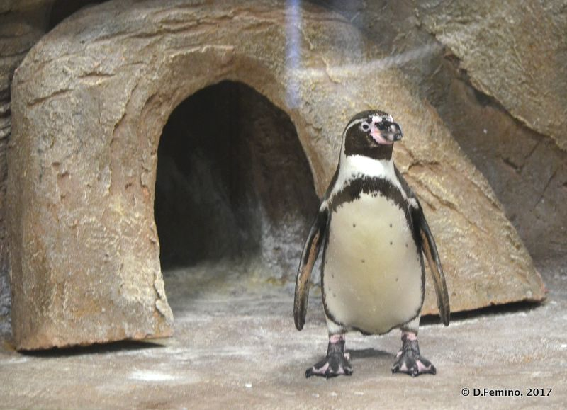 Penguin (Novosibirsk Zoo, Russia, 2017)