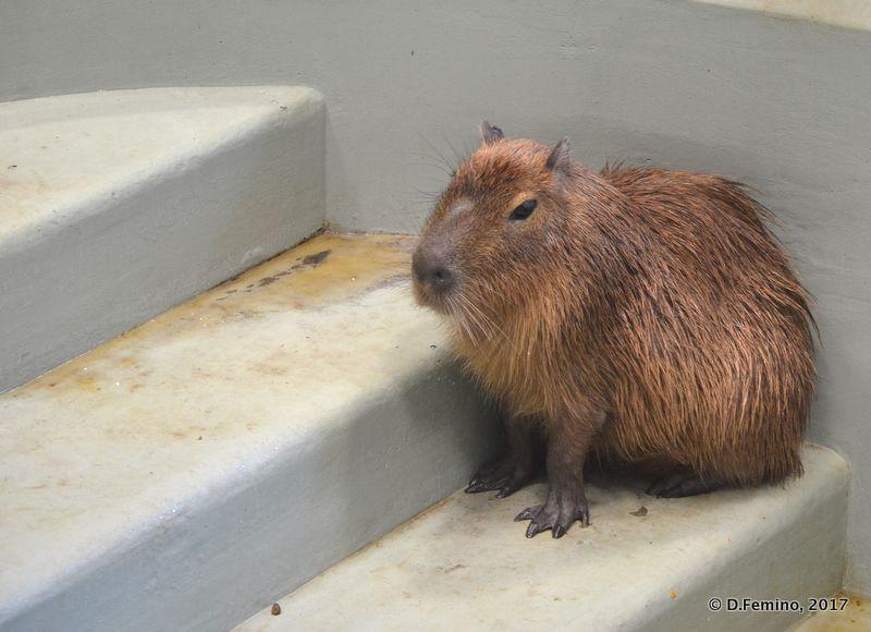 Capybara (Novosibirsk Zoo, Russia, 2017)