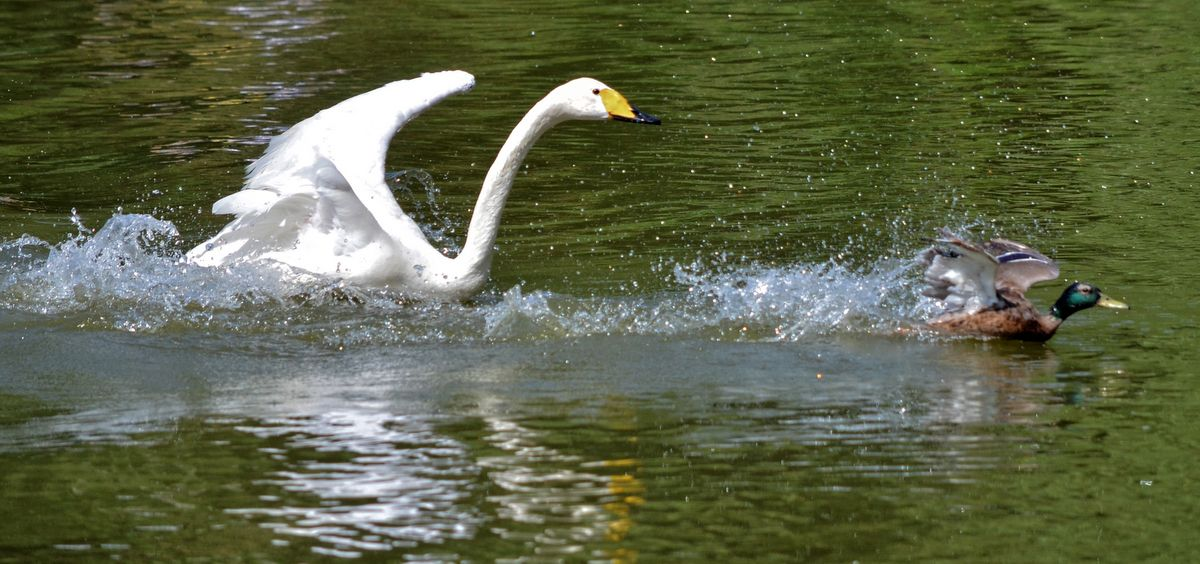 Swan vs. duck in Novosibirsk zoo