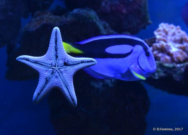 Starfish in the aquarium (Novosibirsk Zoo, Russia, 2017)
