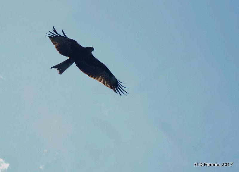 Falcon over Stolby reserve (Krasnoyarsk, Russia, 2017)