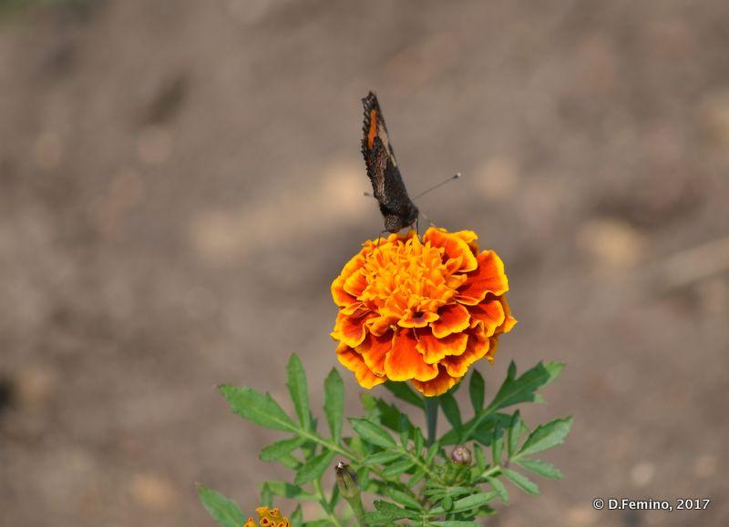 Butterfly on orange flower (Irkutsk, Russia, 2017)