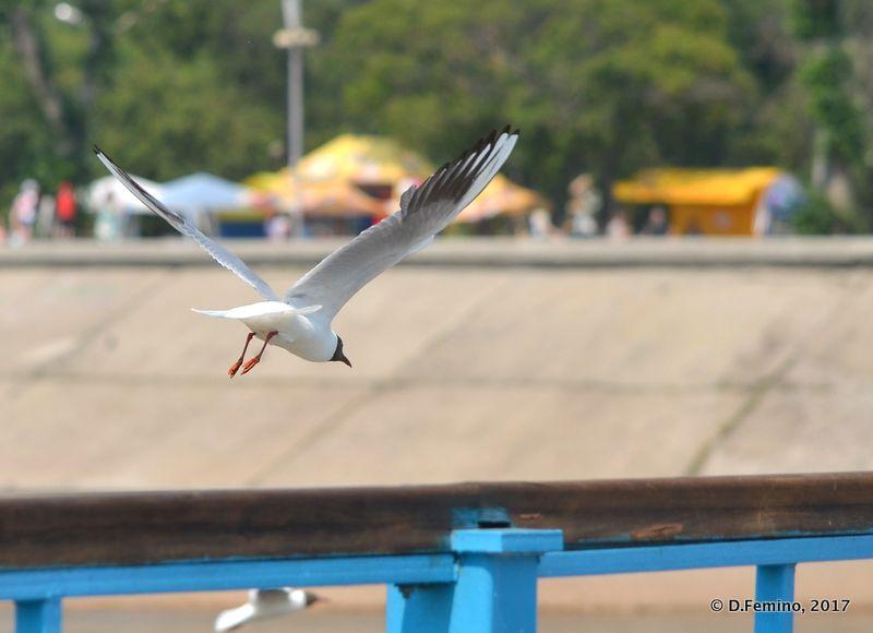 Seagull landing (Irkutsk, Russia, 2017)