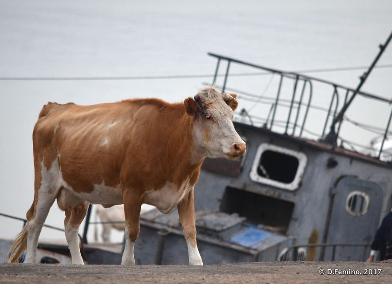 Cow on the harbour (Khuzhir, Russia, 2017)