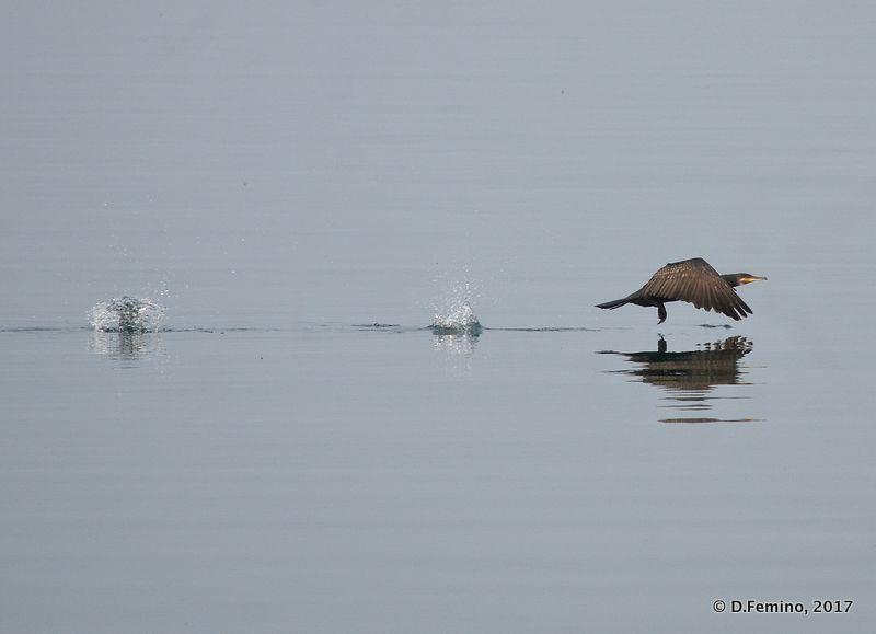 Landing cormorant (Khuzhir, Russia, 2017)