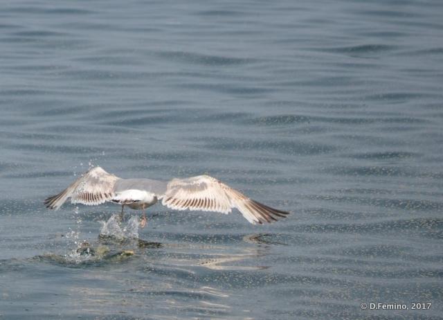 A seagull taking off (Surkhayta lagoon, Russia, 2017)