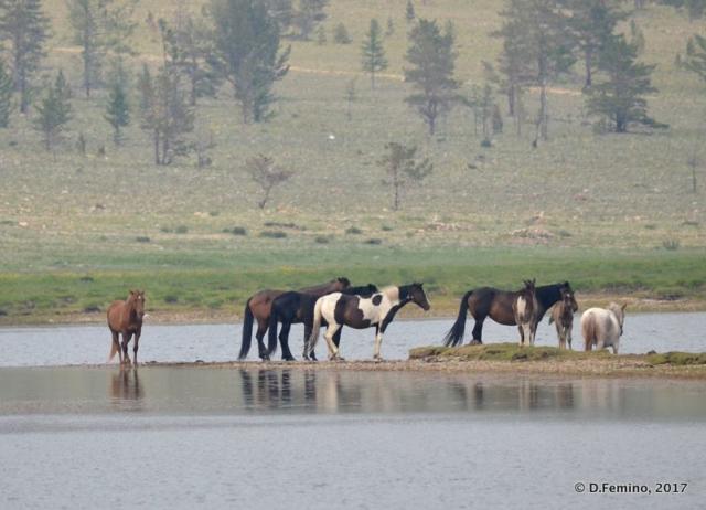 Horses (Surkhayta lagoon, Russia, 2017)