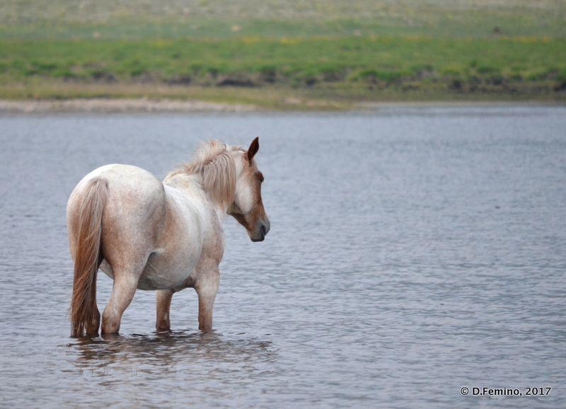 A white horse (Surkhayta lagoon, Russia, 2017)