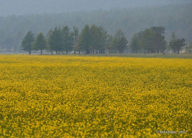 Yellow field (Surkhayta lagoon, Russia, 2017)