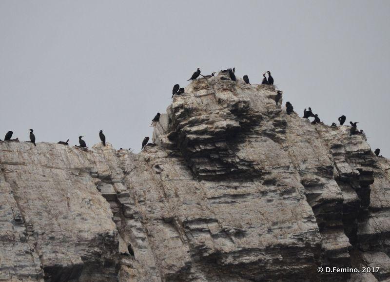 Cormorants (Izhilkhey islet, Russia, 2017)