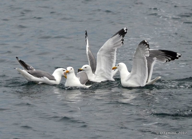 Seagulls (Izhilkhey islet, Russia, 2017)