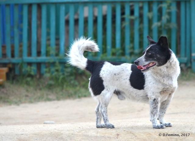 Dog posing (Khuzhir, Russia, 2017)