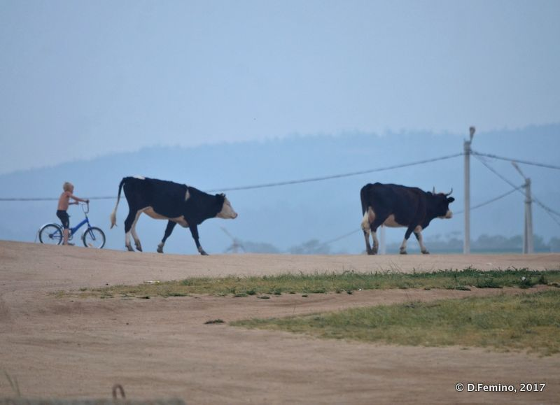 Cows going back home (Khuzhir, Russia, 2017)