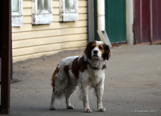 Guardian dog (Irkutsk, Russia, 2017)