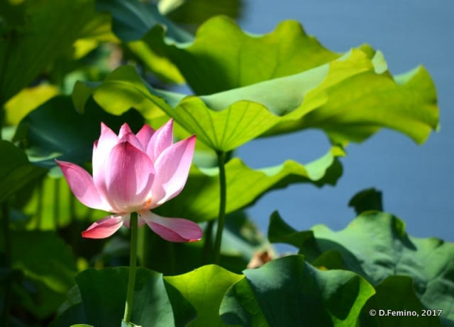 Lotus flower by a canal (Beijing, China, 2017)