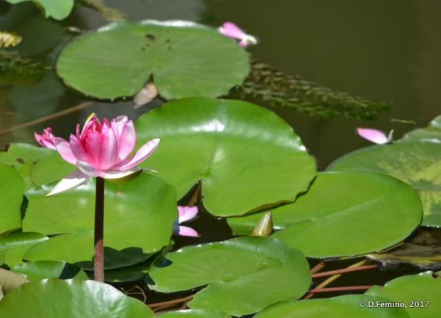 Lotus flower on Beihai lake (Beijing, China, 2017)