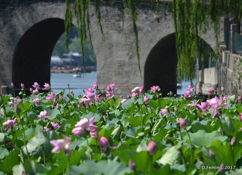 Lotus flowers in round city (Beijing, China, 2017)