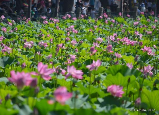 Lotus flowers field (Beijing, China, 2017)