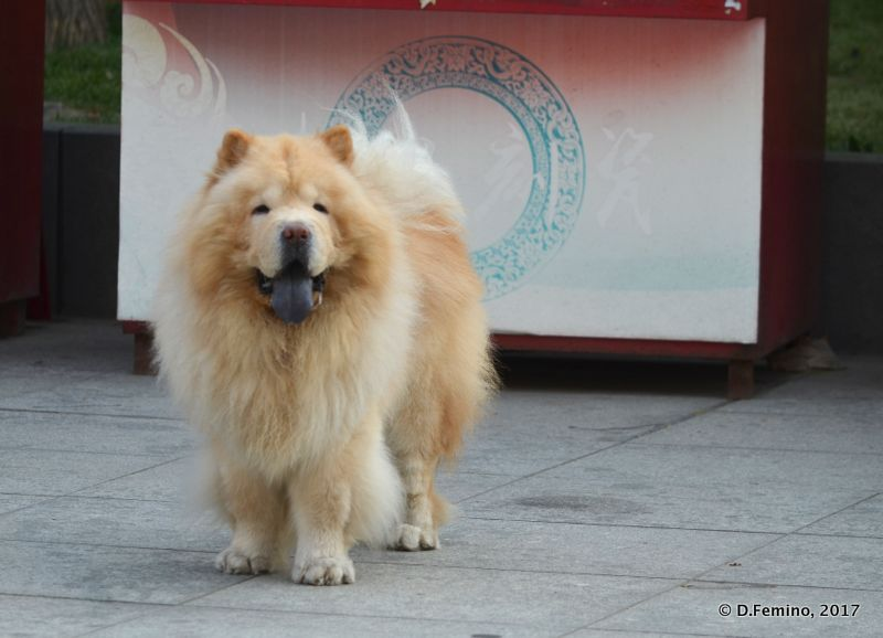 Chow Chow in the street (Tianjin, China, 2017)