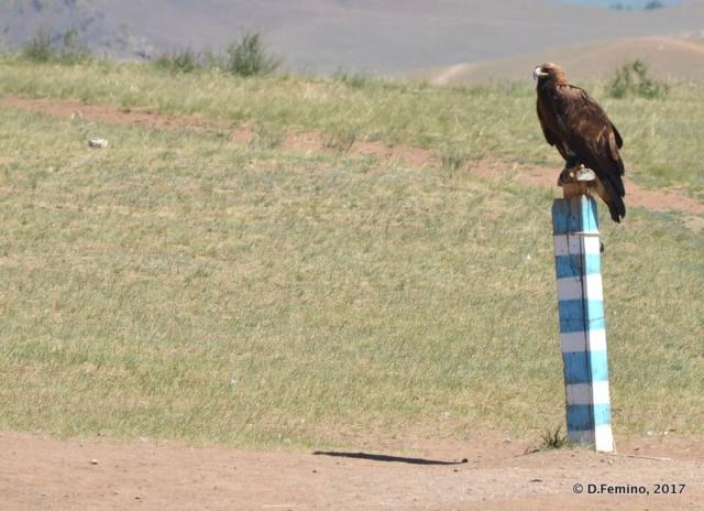 Eagle standing on a pole (Terelj Park, Mongolia, 2017)