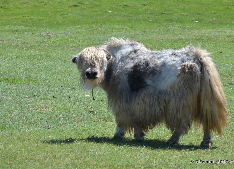 Yak looking at my camera (Terelj Park, Mongolia, 2017)