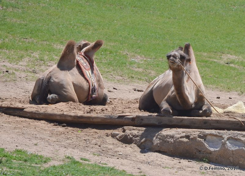 A couple of camels (Terelj Park, Mongolia, 2017)
