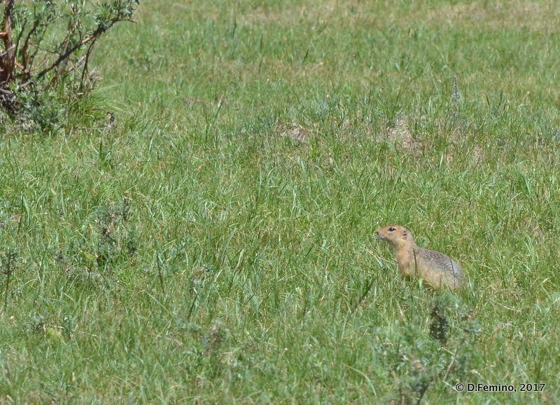A ground squirrel (Terelj Park, Mongolia, 2017)
