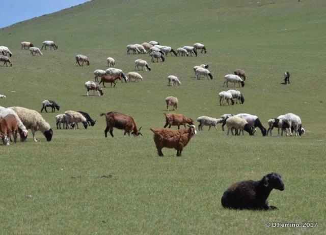 Cattle grazing (Terelj Park, Mongolia, 2017)