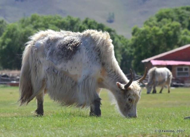 A big white yak (Terelj Park, Mongolia, 2017)