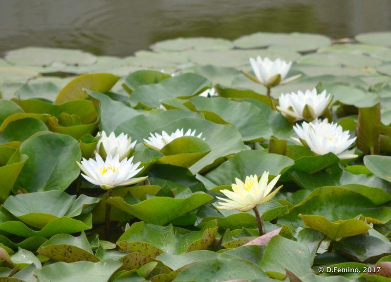 White lotus flowers (Pingyao, China, 2017)