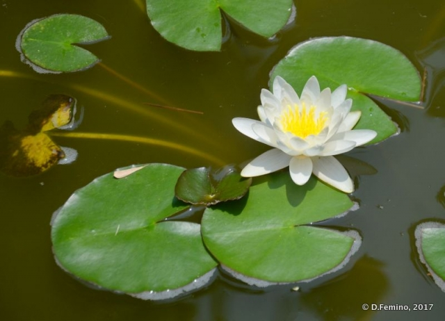 Lotus flower (Xi'an, China, 2017)