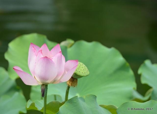 Lotus flower (Shanghai, China 2017)