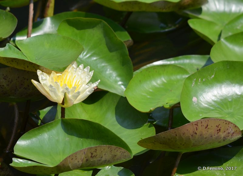 White lotus flower (Suzhou, China, 2017)
