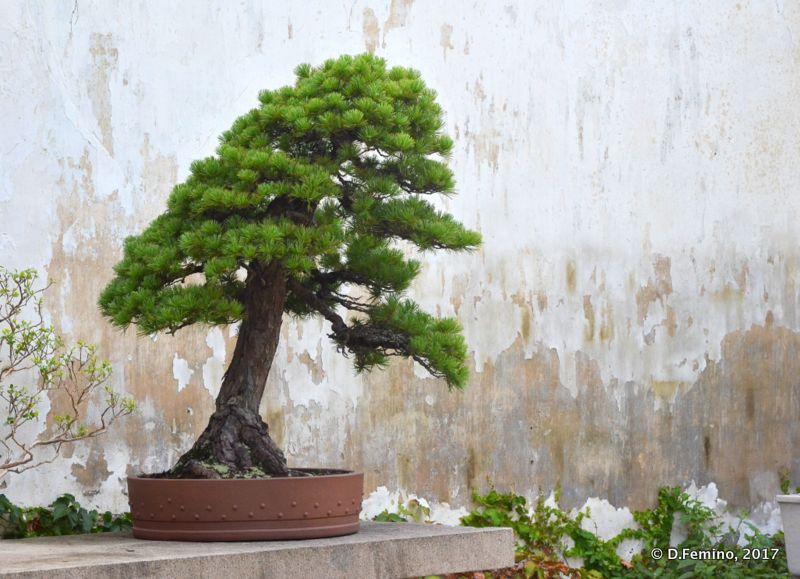 A perfect bonsai (Suzhou, China, 2017)