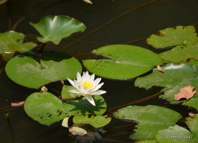 Lotus flower (Suzhou, China, 2017)