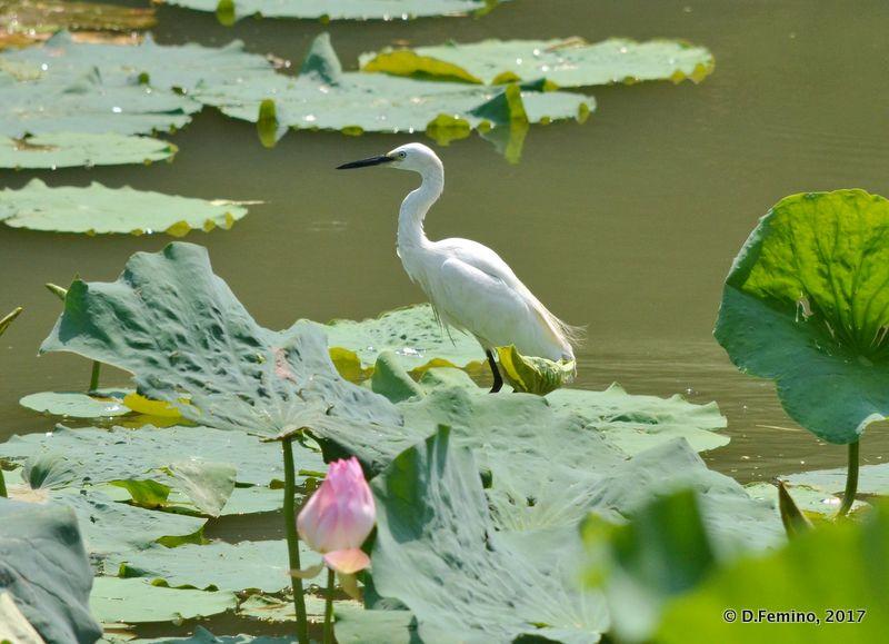 White egret (Suzhou, China, 2017)