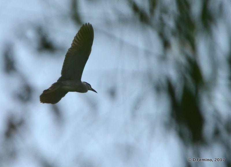 Falcon among the trees (Suzhou, China, 2017)