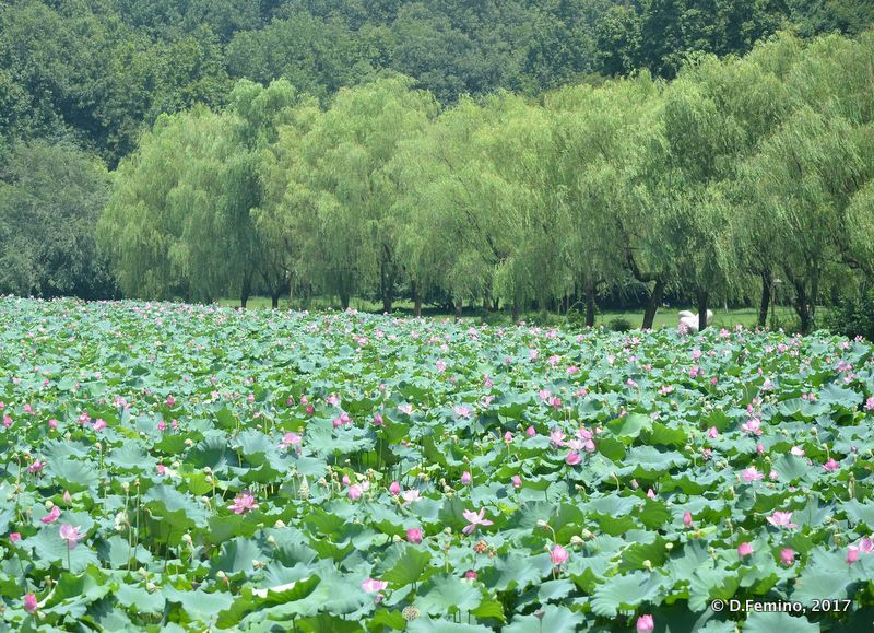 Northern lake vegetation (Hangzhou, China, 2017)