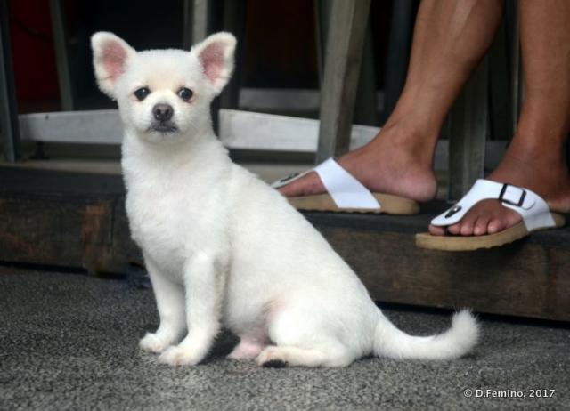 Fluffy white puppy (Macau, 2017)