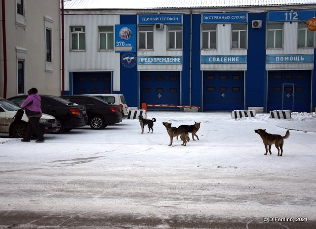 Stray dogs (Ulan-Ude, Russia, 2021)