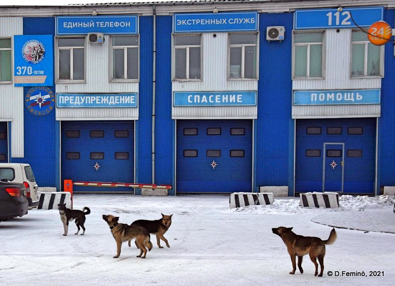Dogs howling for rescue (Ulan-Ude, Russia, 2021)