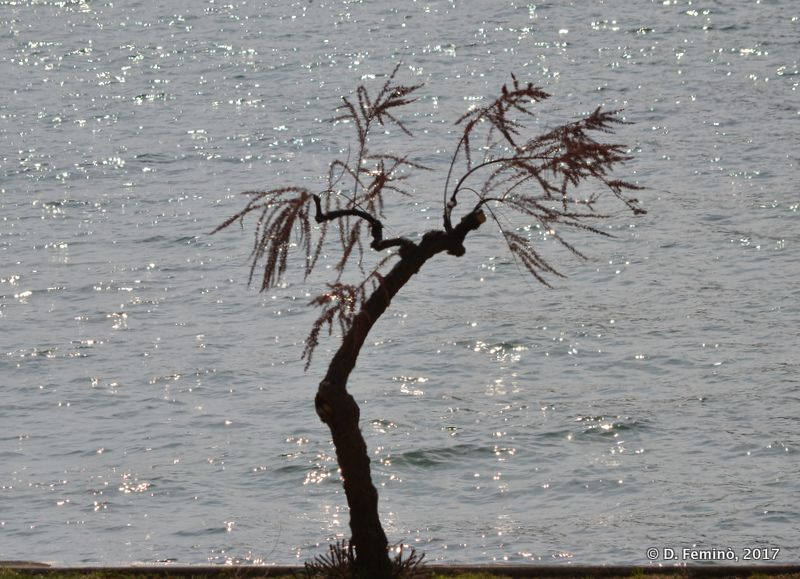 Tree and shining sea (Krk, Croatia, 2017)