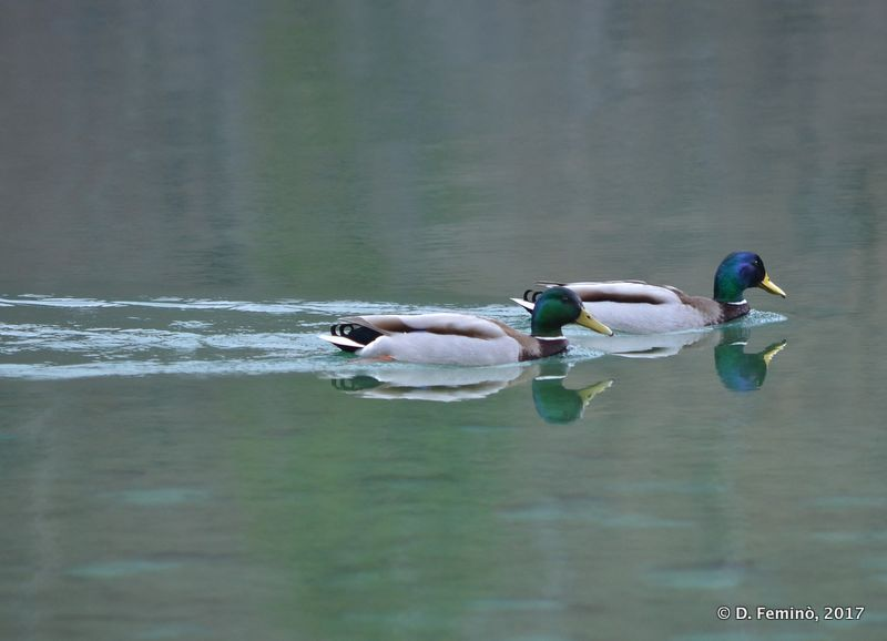 Ducks on a calm lake (Plitvice, Croatia, 2017)