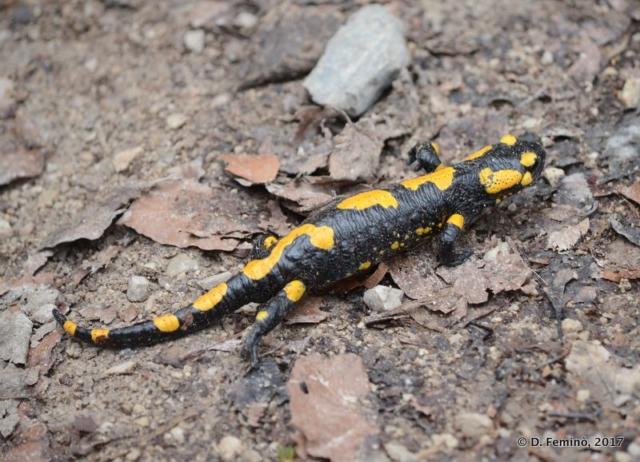 Fire Salamander (Plitvice, Croatia, 2017)