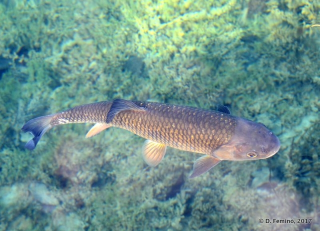Fish at close range (Plitvice, Croatia, 2017)